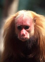 photograph of a red uakari