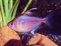 Hyphessobrycon erythrostigma, Bleeding-heart tetra: aquarium