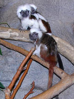 Image of: Saguinus oedipus (cotton-top tamarin)
