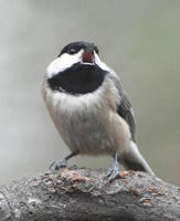 Image of: Parus carolinensis (Carolina chickadee)