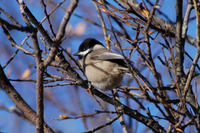 Image of: Parus montanus (willow tit)