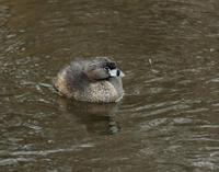 Image of: Podilymbus podiceps (pied-billed grebe)