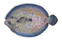 Image of: Bothus lunatus (peacock flounder)