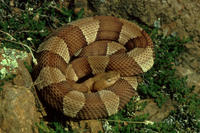 Image of: Agkistrodon contortrix (copperhead)