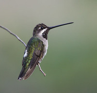 Long-billed Starthroat (Heliomaster longirostris) photo
