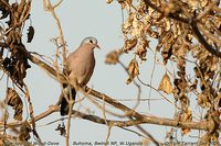 Blue-spotted Wood-Dove - Turtur afer