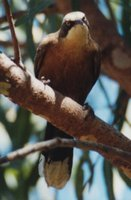 Gray-crowned Babbler - Pomatostomus temporalis