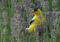 American Goldfinch - Carduelis tristis