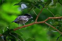 White-winged  becard   -   Pachyranphus  polychopterus   -