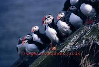 FT0175-00: Atlantic Puffins on a sloping rock