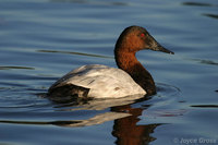 : Aythya valisineria; Canvasback
