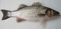 ...h, King of the mullets, Sea dace, Sea perch, White salmon, White mullet, European bass, Sea bass...