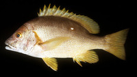 Lutjanus stellatus, Star snapper: fisheries, aquaculture