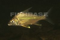 Eugerres plumieri, Striped mojarra: fisheries, gamefish