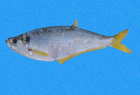 Opisthopterus macrops, Bigeyed longfin herring: fisheries