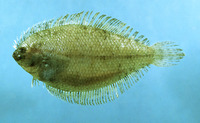 Etropus microstomus, Smallmouth flounder:
