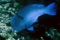 Bolbometopon muricatum, Green humphead parrotfish: fisheries, aquarium