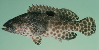 Epinephelus melanostigma, One-blotch grouper: fisheries