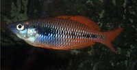 Melanotaenia parva, Lake Kuromai rainbowfish: