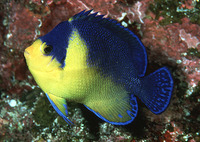 Centropyge venustus, Purplemask angelfish: aquarium