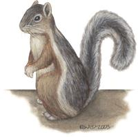 Image of: Sciurus variegatoides (variegated squirrel)