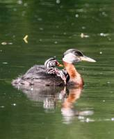 Podiceps grisegena - Red-necked Grebe