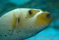 Arothron nigropunctatus - Black Spotted Blow Fish