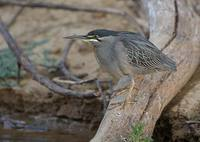 Striated Heron (Butorides striata) photo