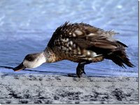 Crested Duck - Anas specularioides