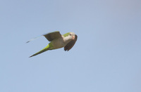Monk Parakeet (Myiopsitta monachus) photo