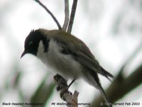 Black-headed Honeyeater - Melithreptus affinis