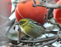 Townsend's Warbler - Dendroica townsendi
