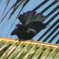 Cuban Blackbird - Dives atroviolacea