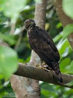 Philippine Hawk-Eagle Spizaetus philippensis Endemic Vulnerable