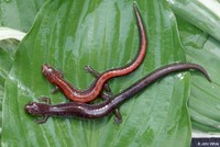 : Plethodon cinereus; Northern Red-backed Salamander