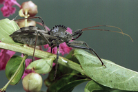 : Arilus cristatus; Wheel Bug