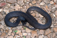 : Nerodia erythrogaster flavigaster; Yellow-bellied Water Snake