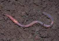 : Arctiostrotus perrieri; Earthworm