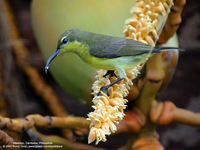 Olive-backed Sunbird (Female) Scientific name - Nectarinia jugularis