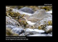 Spotted Sandpiper - Actitis macularia - Andarr