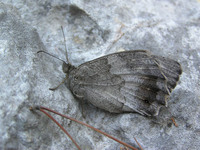 Hipparchia statilinus - Tree Grayling
