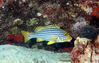 Plectorhinchus orientalis, Oriental sweetlips: fisheries, gamefish, aquarium