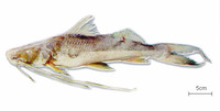 Brachyplatystoma vaillantii, Laulao catfish: fisheries