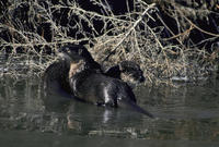 Image of: Lontra canadensis (northern river otter)