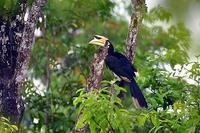 Image of: Anthracoceros albirostris (Oriental pied-hornbill)