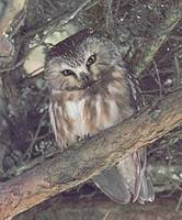 Northern Saw-whet Owl (Aegolius acadicus) photo