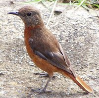 Cape Rock-Thrush - Monticola rupestris