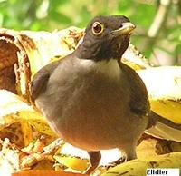 White-throated Thrush - Turdus assimilis
