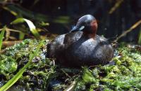 A little grebe.