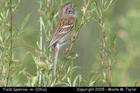 Field Sparrow (male) - Ohio